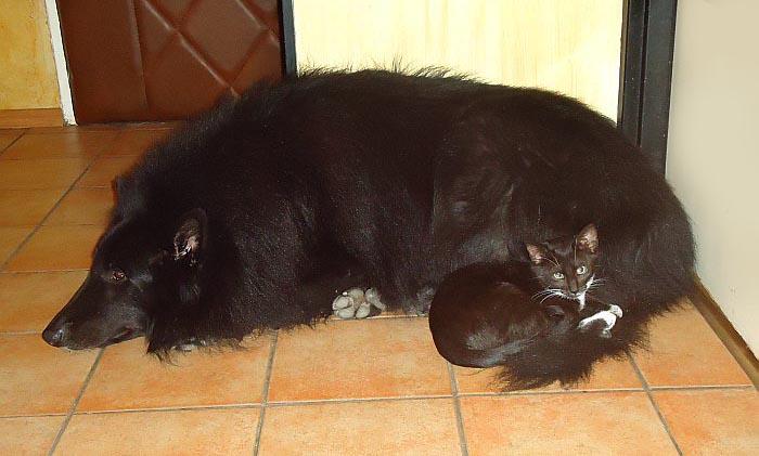 Socjalizacja psa i kota, kot w domu, Kot i pies w domu socjalizacja